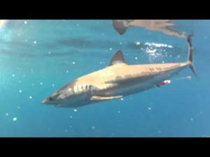 Mako and blue sharks, yellow tail and barracuda today!
