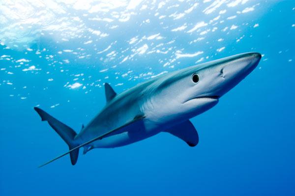 Spring break blue shark fishing