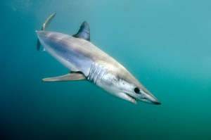 Mako Shark Fly Fishing Charters