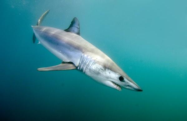 Mako Shark Fly Fishing Charters