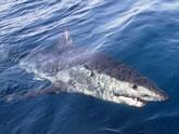 Shark, On the Fly Fishing Charters, California Shark Fishing, San Diego, CA