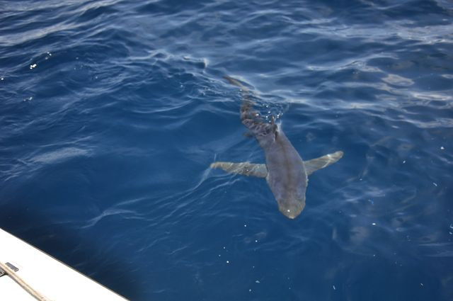 Blue sharks and a mako hooked today!