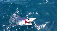 Great numbers of makos for the month of June
