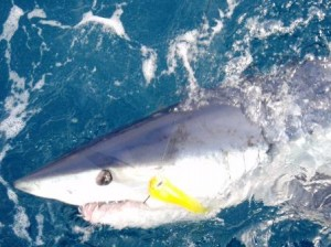 Makos and blue sharks released on todays charter