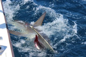 Hammerhead shark released On The Fly today!