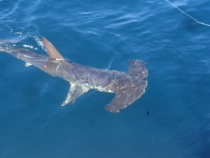 Makos and hammerheads in the slick this week