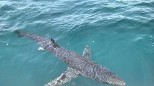 Good Shark Fishing!