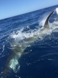 3 big hammerheads eat the fly on today's half day