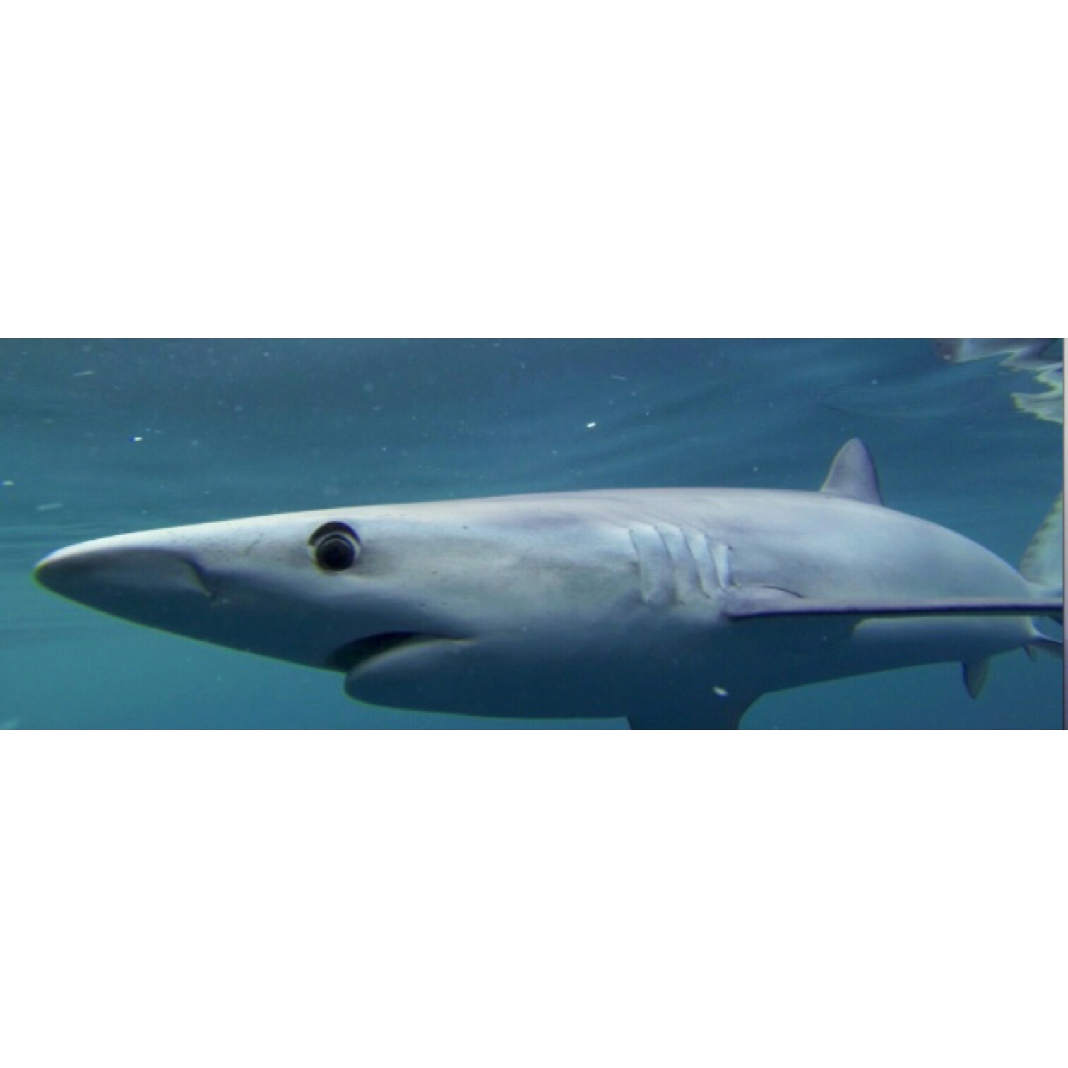 blue sharks are back on the fly fishing charters