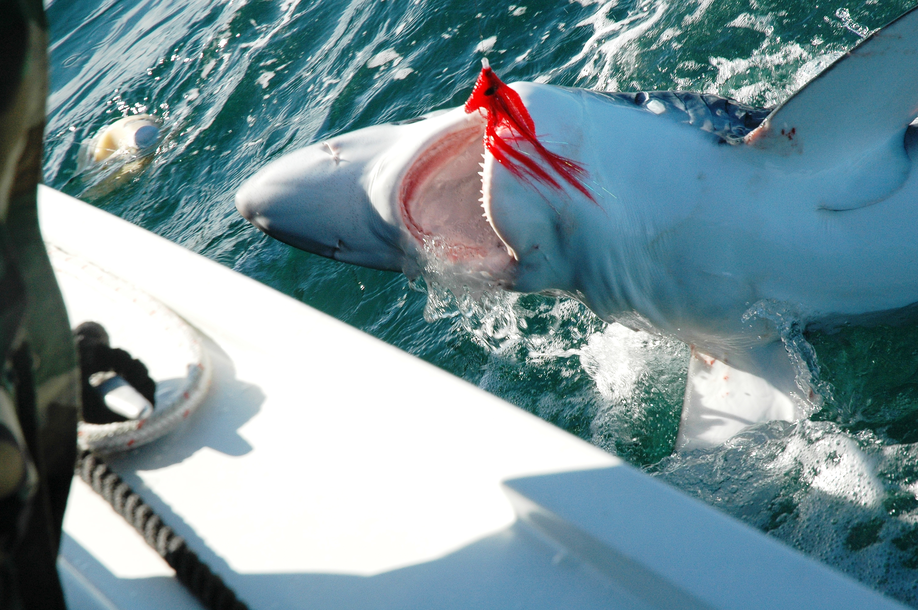Blue and mako shark this weekend on the fly fishing charters for Fly fishing san diego