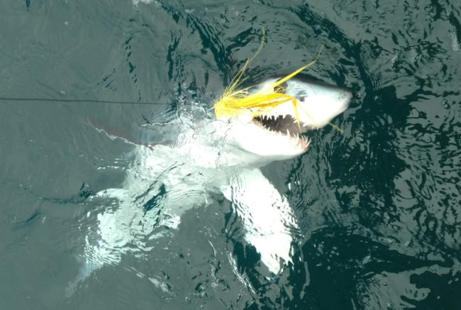 Good numbers of mako and blues on our shark fishing charters