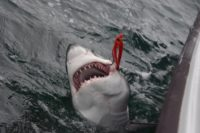 Great shark fishing continues