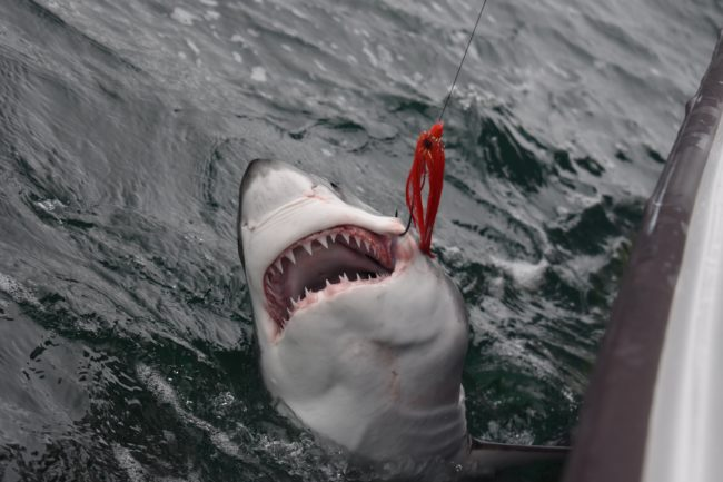 Great shark fishing continues on the fly fishing charters for Fly fishing san diego