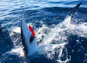 Blue shark fishing has been good this month